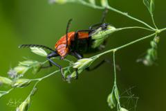 Cardinal beetle   Roodkopvuurkever
