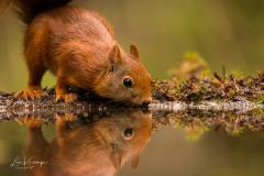 Squirrel   Eekhoorn