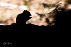 Silhouette Siberian Chipmunk | Silhouet Siberische grondeekhoorn