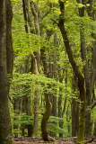 Dancing Trees   Dansende beuken
