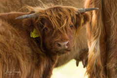 Scottish Highlander calf