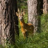 Roe deer | Ree