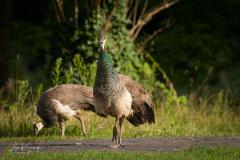 Peacock | Pauw