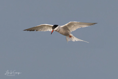 Common Tern   Visdiefje