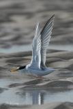 Little Tern   Dwergstern