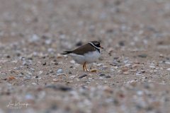 Common Ringed Plover   Bontbekplevier