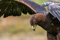Golden Eagle   Steenarend